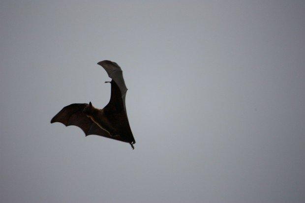 Парк Вихарамахадеви, Виктория, Коломбо, Шри-Ланка, фото, летучие мыши